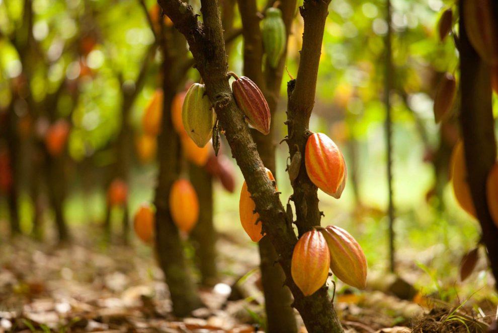 Organic kakao Arriba Nacional