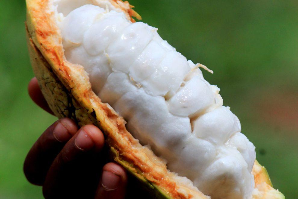 Raw cacao Arriba Nacional Chocollama organska čokolada