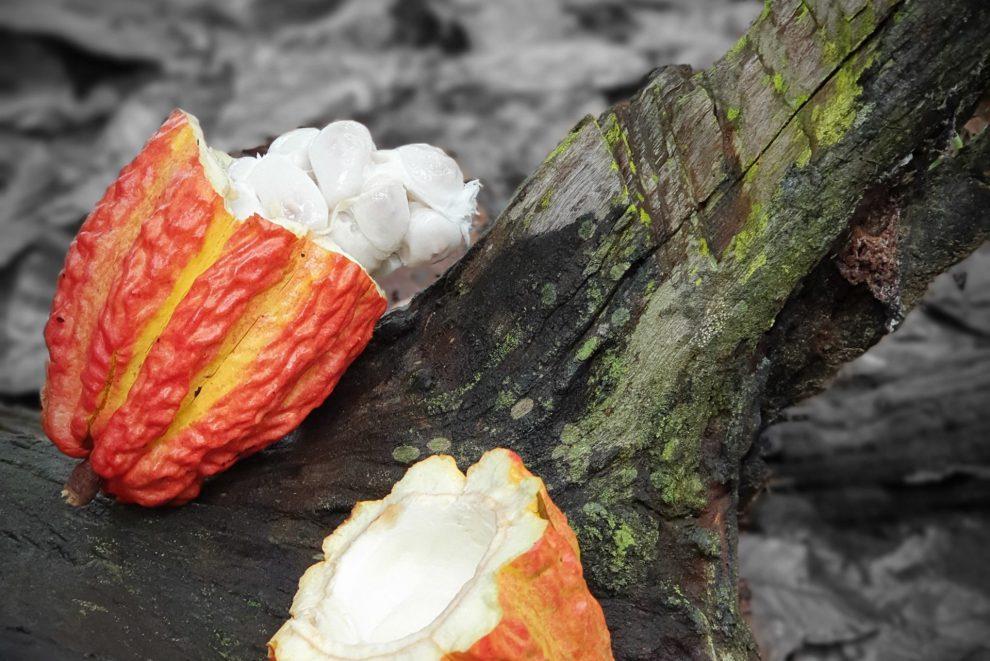 Raw organic cacao Arriba Nacional